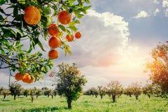 Vues fantastiques des belles espèces d'arbre en Italie sicily Image stock
