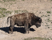 Vuile buffels Royalty-vrije Stock Afbeelding