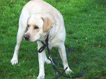 Vuile hond royalty-vrije stock foto