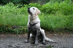 Vuile hond stock foto's