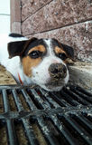 Vuile modderige puppyhond Royalty-vrije Stock Fotografie