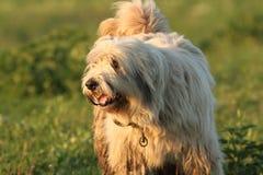 vuile pluizige Roemeense herdershond royalty-vrije stock foto's
