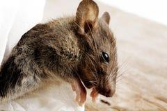 Vuile rat Stock Foto