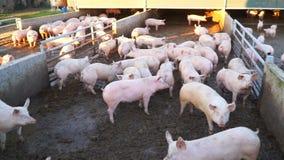 Vuile varkens op een landbouwbedrijf in de modder stock video