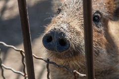 Vuile varkensstuiver Stock Foto's
