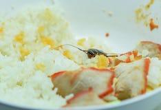 Vuile voedsel/kakkerlakken die rijstvoedsel eten die in de keuken bij huis leven stock afbeelding