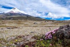 Vulcão de Cotopaxi sobre o platô, coberto com o açafrão de florescência Imagens de Stock