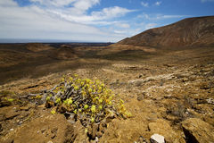 Vulcanic timanfaya   spain plant flower bush Royalty Free Stock Images