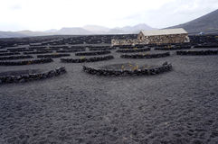 Volcanic wineyard. Volcanic soil wineyard with plants protected by stone walls characteristic of Lanzarote island stock photos