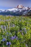 Vulcano e fiori al tramonto Fotografia Stock
