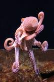 vulgar bläckfisk royaltyfria bilder