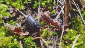 Vulgare adulto del Armadillidium del insecto de píldora arrastrarse en el fondo verde en la estación de primavera - cámara macra  almacen de metraje de vídeo