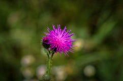Vulgare Cirsium Завод луга лужок цветка где-то скачет древесины Стоковые Изображения RF