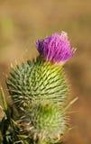 Vulgare Cirsium, thistle копья в цветке Стоковые Изображения RF