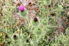 Vulgare Cirsium, thistle копья, thistle Bull Стоковые Фотографии RF