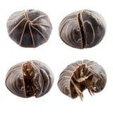 vulgare d'armadillidium de Pillule-anomalie image stock