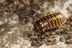 Vulgare d'Armadillidium ou insecte de pilule Photo stock