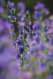 Vulgare d'Echium photo stock
