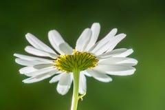 Vulgare de Daisy Backside Leucanthemum imágenes de archivo libres de regalías