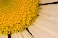 Vulgare de Leucanthemum image stock