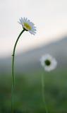 Vulgare de Leucanthemum images libres de droits