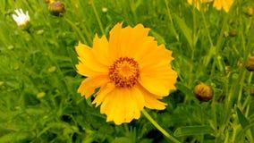 Vulgare de Leucanthemum Marguerite Photographie stock
