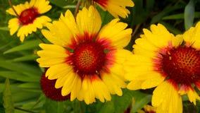 Vulgare de Leucanthemum Marguerite Photographie stock libre de droits
