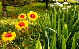 Vulgare de Leucanthemum Marguerite Photo libre de droits
