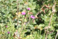 Vulgare del Cirsium del cardo de Bull con la abeja Foto de archivo