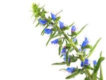 Vulgare del Echium fotografía de archivo