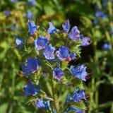 Vulgare del Echium de las flores Foto de archivo