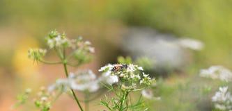 Vulgare del Foeniculum de la flor blanca Fotos de archivo libres de regalías