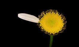 Vulgare del Leucanthemum immagini stock libere da diritti