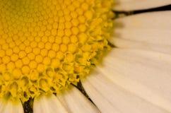 Vulgare del Leucanthemum immagine stock
