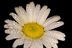 Vulgare del Leucanthemum fotografia stock libera da diritti