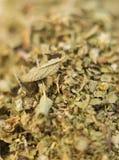 Vulgare del Origanum del orégano Fotos de archivo