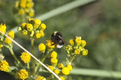 Vulgare del Tanacetum del Tansy y de la abeja, Anthophila Imagen de archivo