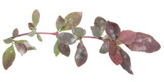 Vulgare do Blueweed ou do Echium isolado no fundo branco Ramo plantBarberry medicinal afetado pelo oídio pulverulento Pontos bran Fotografia de Stock