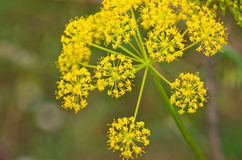 Vulgare do Foeniculum Foto de Stock Royalty Free