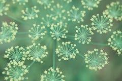 Vulgare do Foeniculum da erva-doce fotografia de stock
