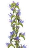 vulgare echium Стоковое Изображение