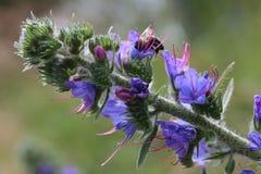 Vulgare Echium Стоковые Фотографии RF