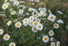 Vulgare Leucanthemum маргаритка вол-глаза или маргаритка oxeye бело с желтым разбивочным цветком Стоковое Фото