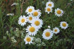 Vulgare Leucanthemum маргаритка вол-глаза или маргаритка oxeye бело с желтым разбивочным цветком Стоковые Изображения RF