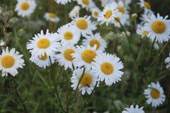 Vulgare Leucanthemum маргаритка вол-глаза или маргаритка oxeye бело с желтым разбивочным цветком Стоковая Фотография RF