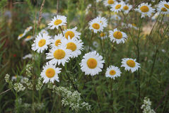 Vulgare Leucanthemum маргаритка вол-глаза или маргаритка oxeye бело с желтым разбивочным цветком Стоковые Фотографии RF
