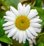Vulgare Leucanthemum, маргаритка вол-глаза или маргаритка oxeye (син Leucanthemum хризантемы) Стоковые Фотографии RF
