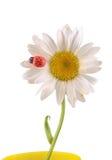 Vulgare Leucanthemum, маргаритка вол-глаза или маргаритка oxeye (син Leucanthemum хризантемы), с Ladybug Стоковые Изображения RF