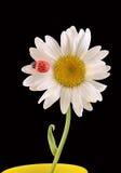 Vulgare Leucanthemum, маргаритка вол-глаза или маргаритка oxeye (син Leucanthemum хризантемы), с Ladybug Стоковое Изображение