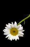 Vulgare Leucanthemum, маргаритка вол-глаза или маргаритка oxeye Стоковые Фотографии RF